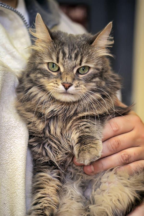Flaumige Katze in seinen Armen stockbilder