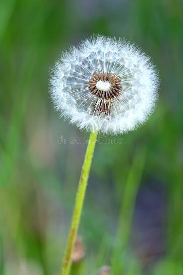 Flaumige Löwenzahnblume mit reifen Samen in einer grünen Rasenfläche als Hintergrund auf Nahaufnahme des Sommers sonniger Tages stockfotografie