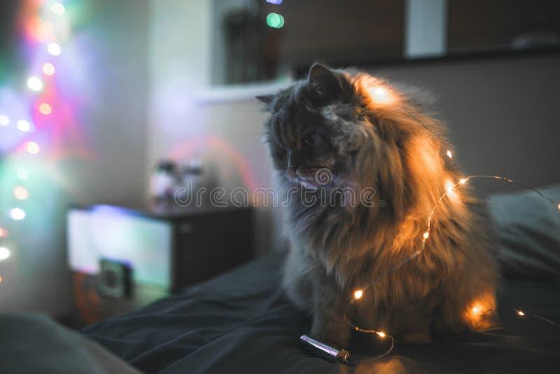 Flaumige nette graue Katze sitzt nachts auf einem Bett mit einer Girlande Porträt einer Katze mit Lichtern auf einem Bett mit dun lizenzfreies stockbild