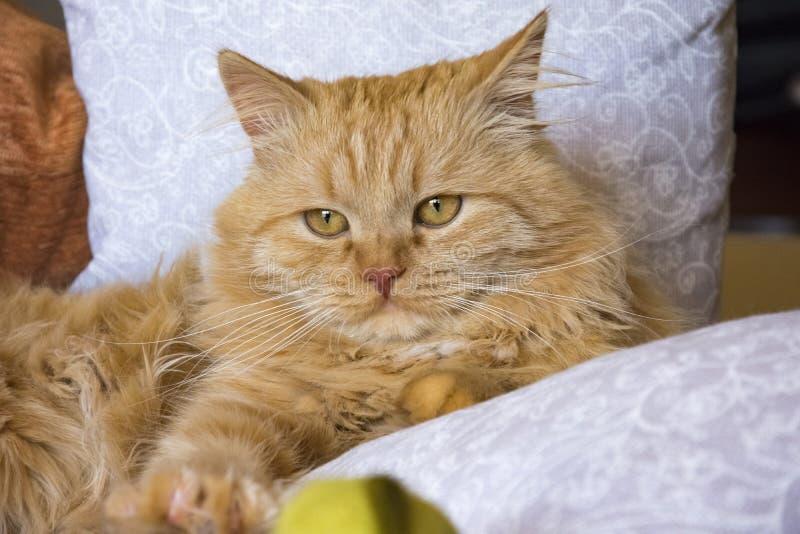 Flaumige rote Katze, die auf der Couch unter den Kissen liegt stockbilder