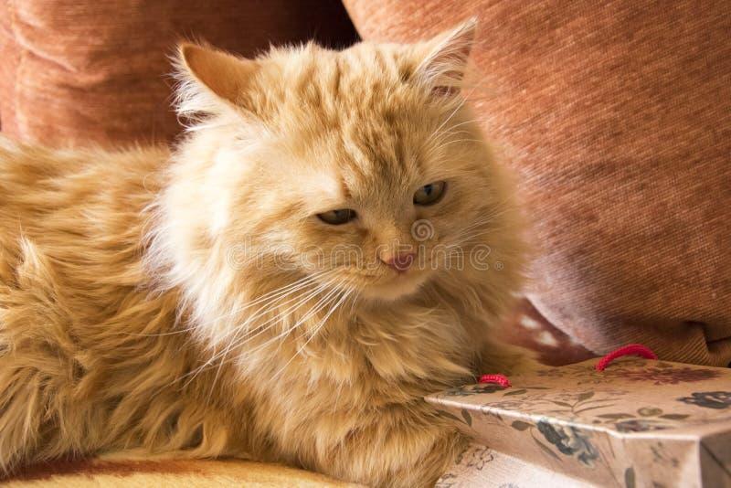 Flaumige rote Katze erhält ein Geschenk von einem Paket, das auf der Couch unter den Kissen liegt stockfotos