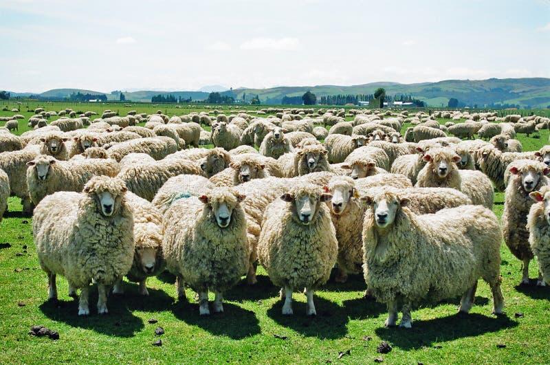 Flaumige Schafe lizenzfreies stockbild