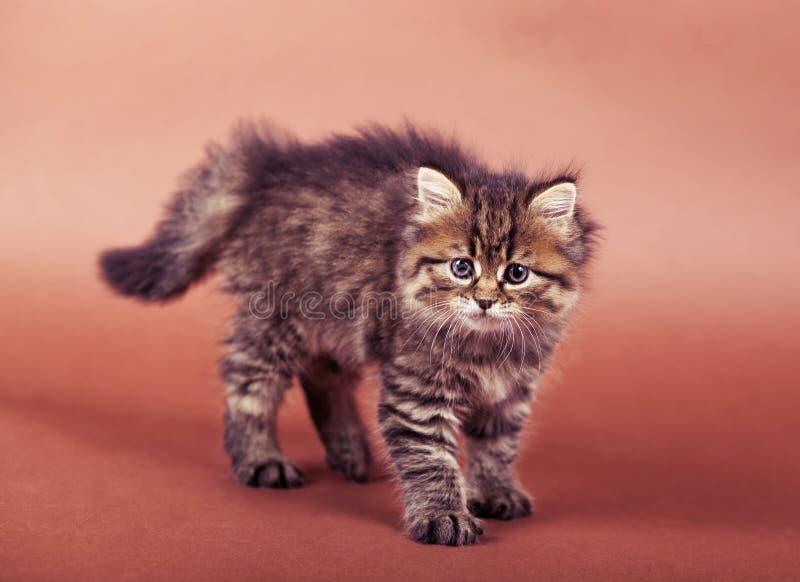 Flaumige sibirische Katze lokalisiert auf einem braunen Hintergrund lizenzfreies stockfoto