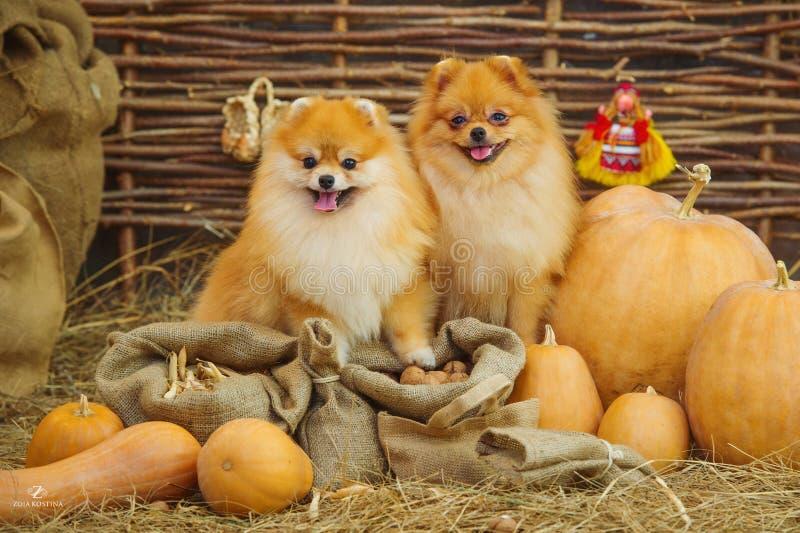 Flaumige Spitzhunde und -kürbise lizenzfreie stockbilder