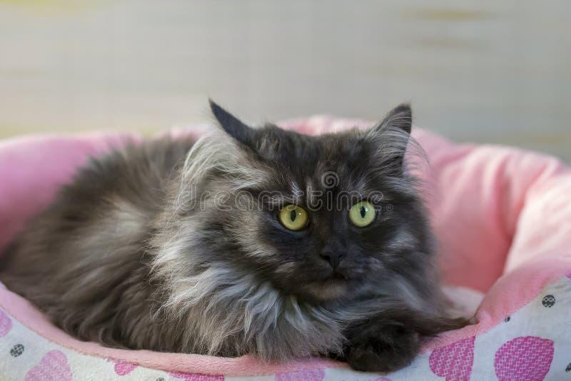 Flaumige und graue Katze auf sunbed lizenzfreies stockbild