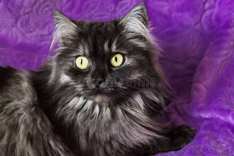 Flaumige und lustige Katze mit gelben Augen stockfoto