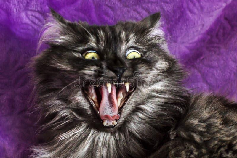 Flaumige und lustige Katze mit gelben Augen stockfotos