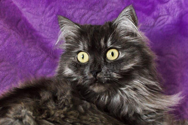 Flaumige und lustige Katze mit gelben Augen lizenzfreie stockfotografie
