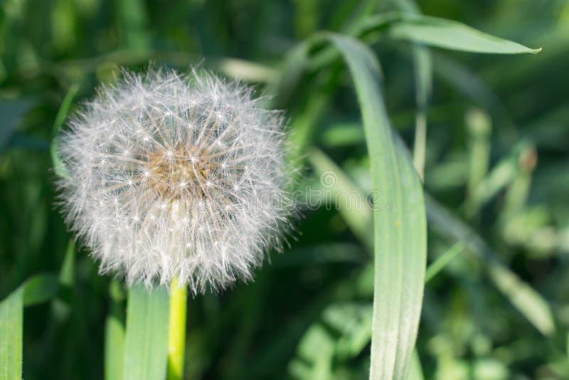 Flaumige weiße Löwenzahnblume Blowball auf grünem Gras stockbilder