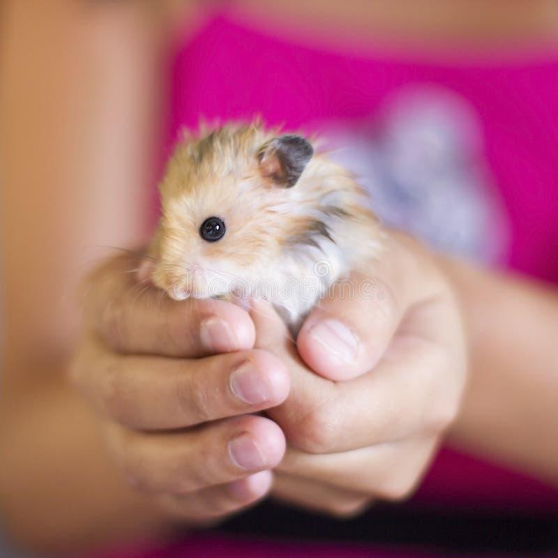 Flaumiger Hamster wird in den Palmen gehalten stockbilder