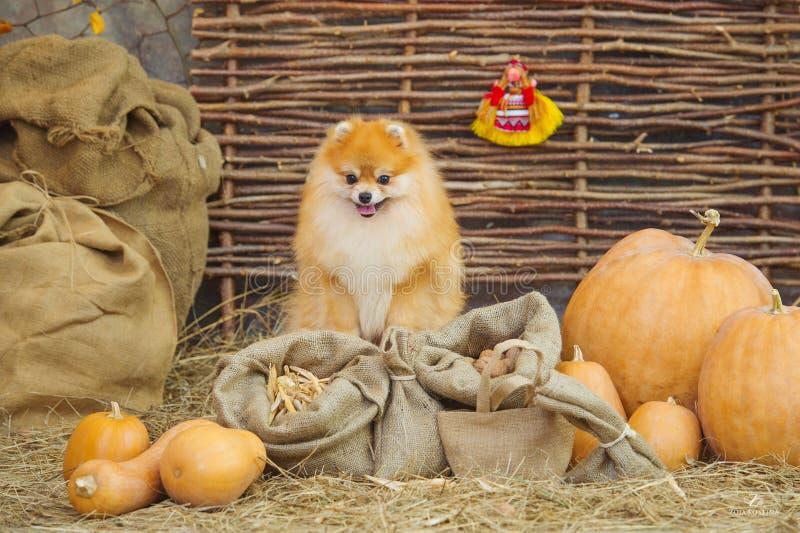 Flaumiger Spitzhund und -kürbise lizenzfreies stockfoto