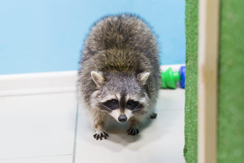 Flaumiger Waschbär im Zoo stockbild