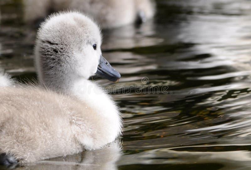 Flaumiges Baby-Schwan-Küken lizenzfreies stockfoto