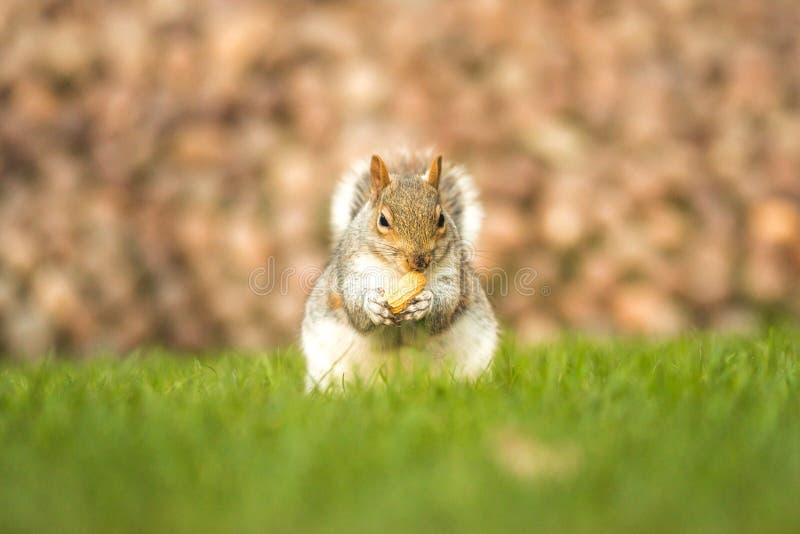 Flaumiges braunes Eichhörnchen, das eine Nuss auf grünem Gras isst stockbilder