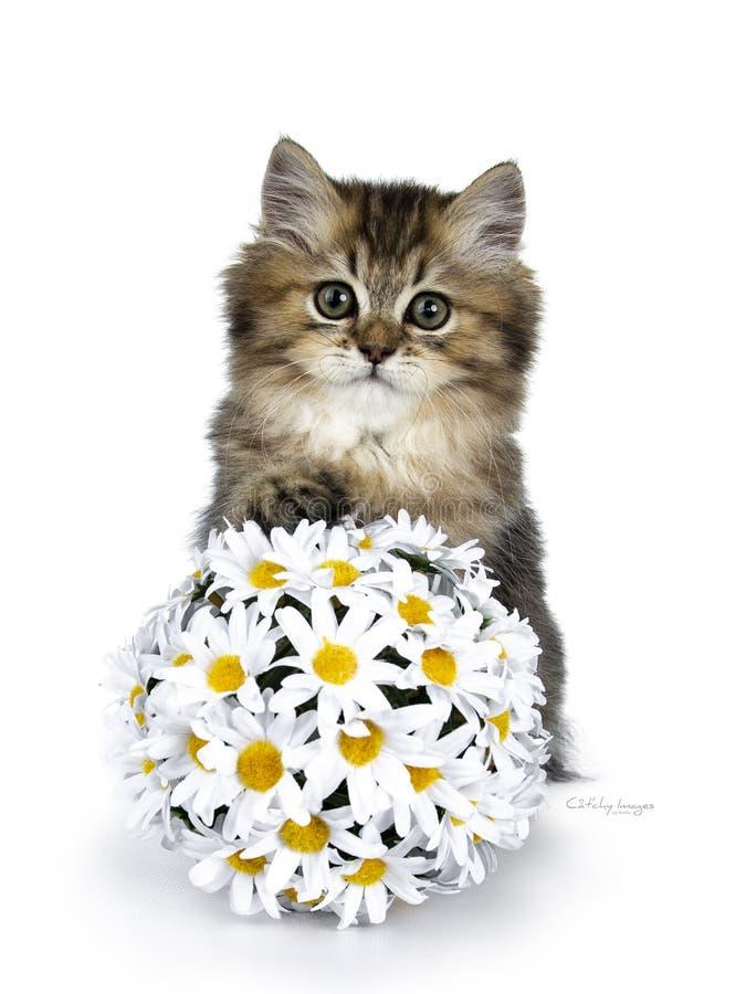 Flaumiges britisches langhaariges Katzenkätzchen lokalisiert auf weißem Hintergrund lizenzfreie stockfotos