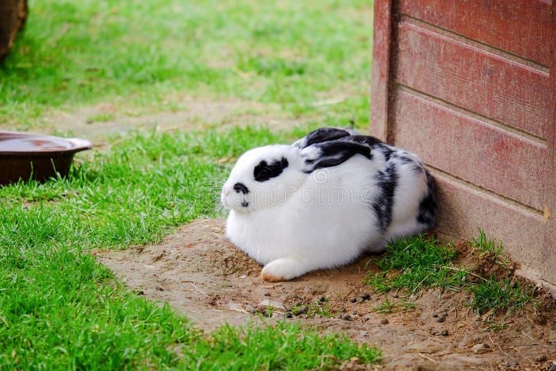 Flaumiges Kaninchen mit weißem und schwarzem Pelz im Gras stockbilder
