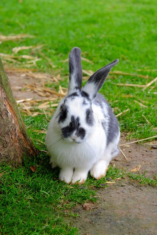 Flaumiges Kaninchen mit weißem und schwarzem Pelz im Gras stockfoto