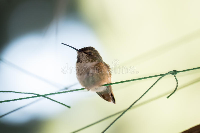 Flaumiges Kolibri-Hocken stockfotografie