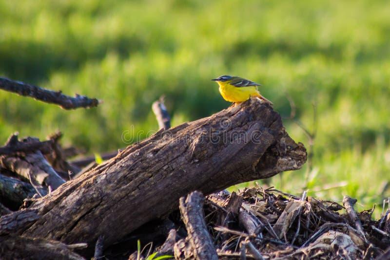 Flava del Motacilla sul ceppo Uccello giallo fotografia stock