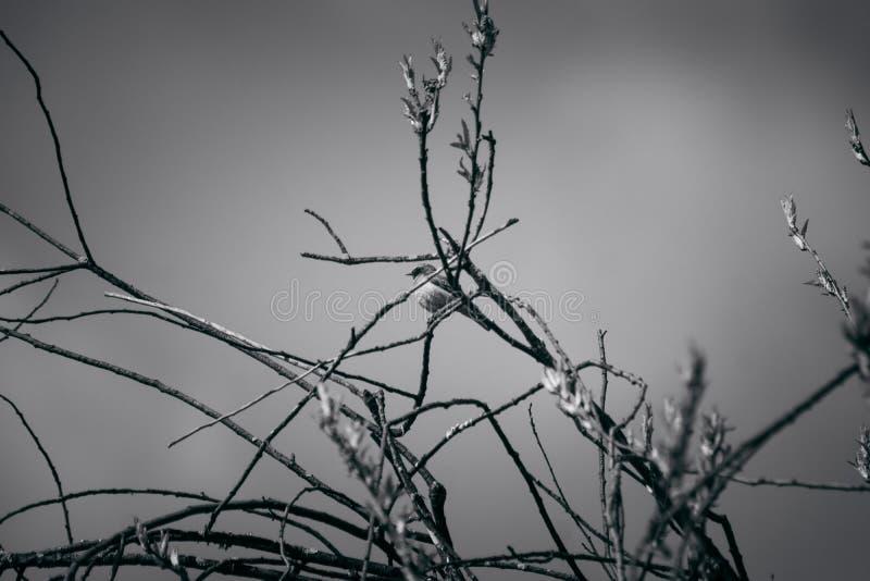 Flava del Motacilla sull'albero fotografia stock