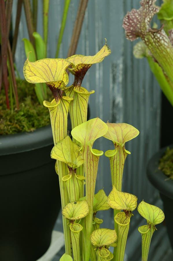 Flava latino norte-americano do Sarracenia do nome da planta de jarro imagens de stock