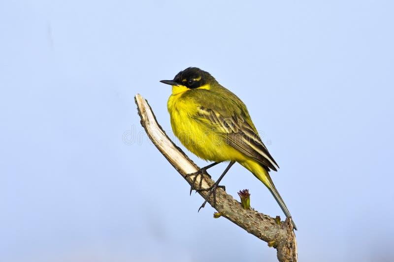 flava motacilla pliszki kolor żółty zdjęcia stock