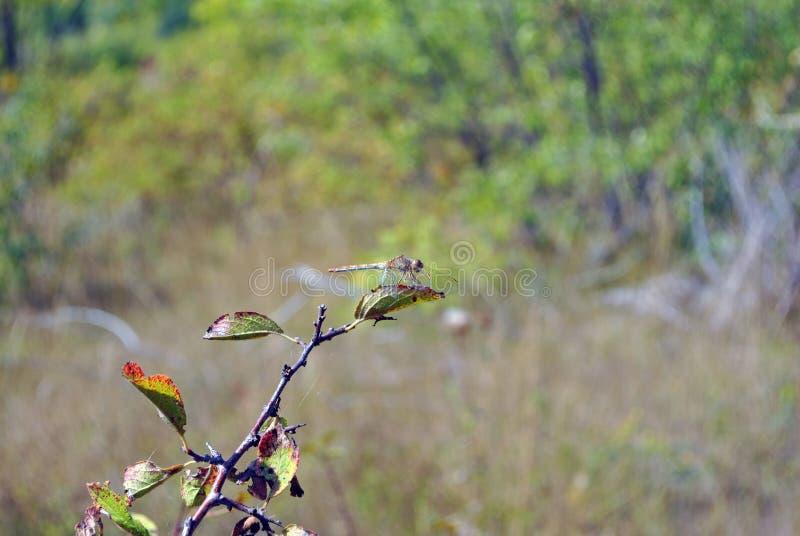 flaveolum Amarillo-con alas de Sympetrum del darter que se sienta en la rama imagen de archivo
