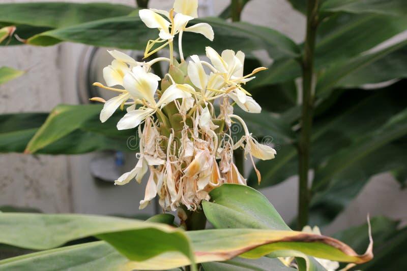 Flavescens de Hedychium, guirnalda-lirio poner crema, jengibre amarillo, fotos de archivo