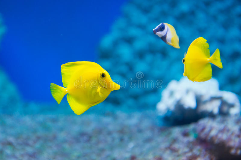 Flavescens de Zebrasoma - espiga amarela fotografia de stock