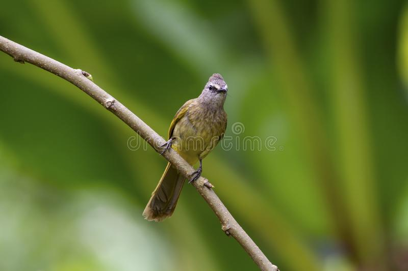 Flavescent bulbul on branch stock photography