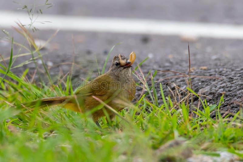 Flavescent Bulbul isolated feeding on flying termite near roadside stock photos