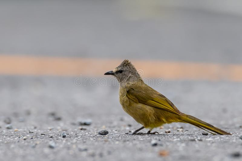 Flavescent Bulbul isolated perching on road surface royalty free stock images