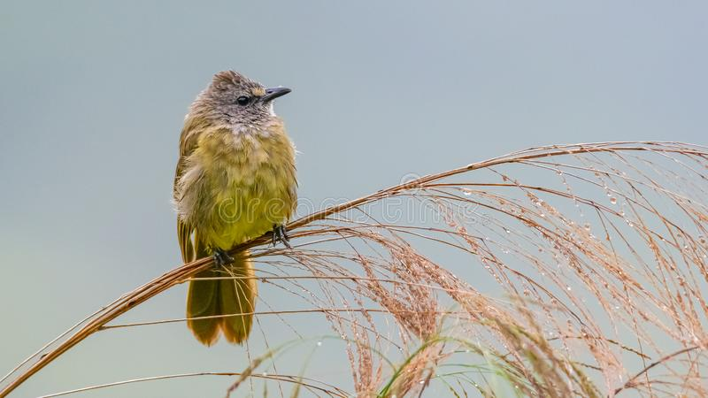 Flavescent Bulbul perching on bamboo grass flower and puffing up plumage royalty free stock images