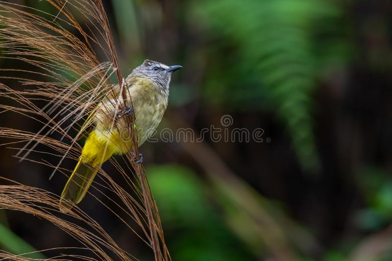 Flavescent Bulbul perching on bamboo grass flower and puffing up plumage. Chong Yen, Khampangpetch royalty free stock photography