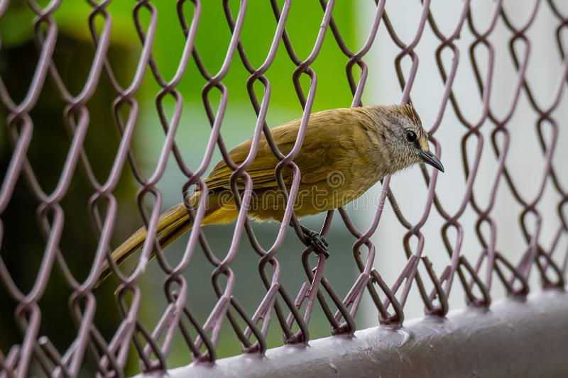 Flavescent Bulbul perching on fence net stock image