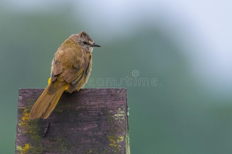 Flavescent Bulbul perching on piece of wood and puffing up plumage. Chong Yen, Khampangpetch royalty free stock photo