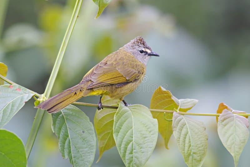 Flavescent Bulbul Pycnonotus flavescens Birds of Thailand stock photos
