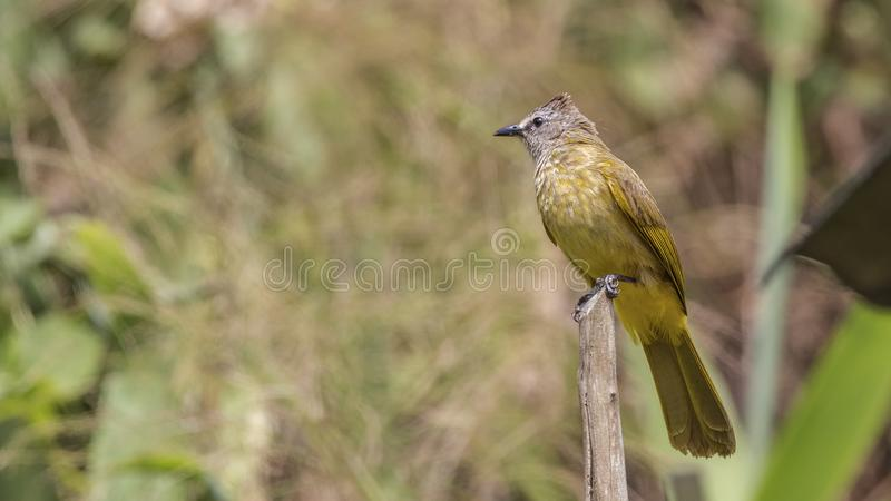 Flavescent Bulbul on Wood Log royalty free stock photography