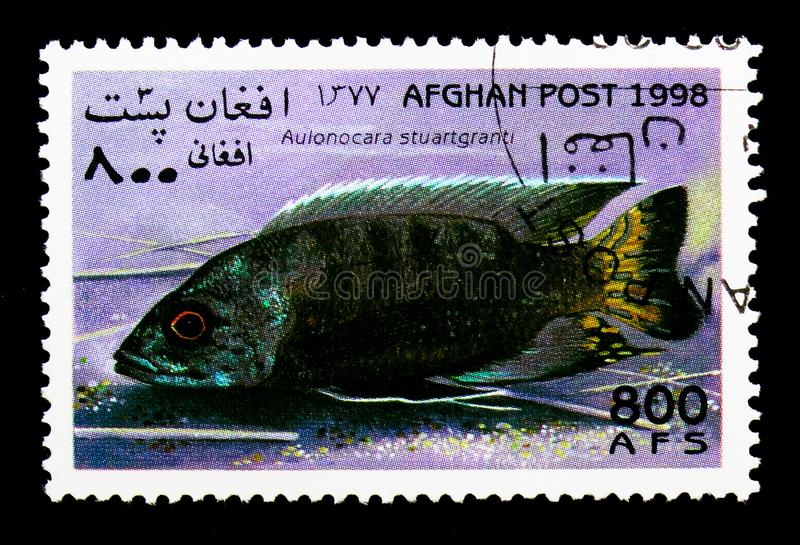 Flavescent peacock (Aulonocara stuartgranti), Fish serie, circa. MOSCOW, RUSSIA - DECEMBER 21, 2017: A stamp printed in Afghanistan shows Flavescent peacock ( stock images