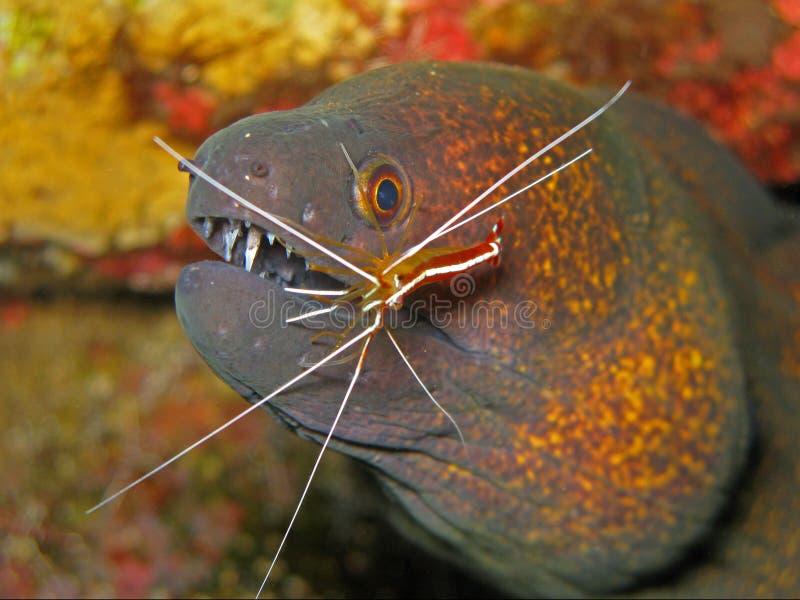 Flavimarginatus Moray - Gymnothorax van Yellowmargin stock foto