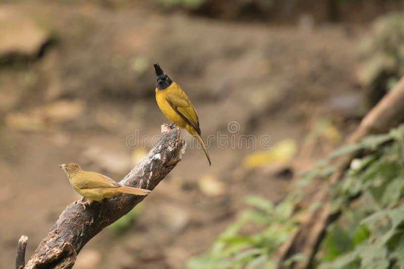 Flaviventris de Pycnonotus imágenes de archivo libres de regalías