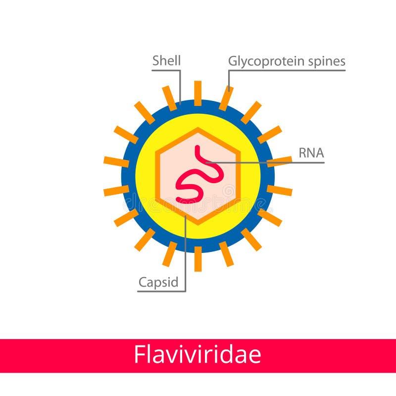 Flaviviridae Ταξινόμηση των ιών διανυσματική απεικόνιση