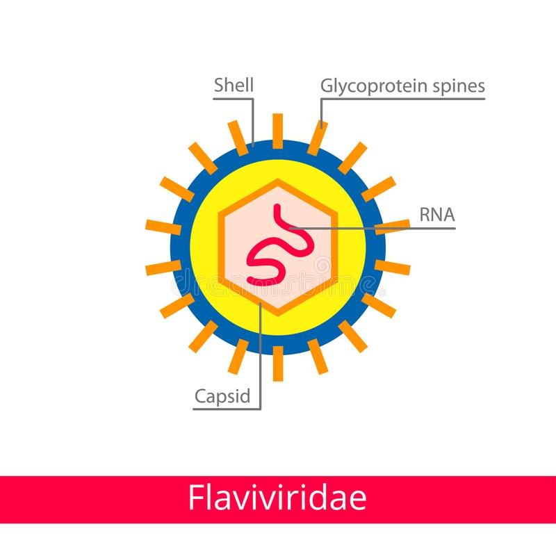 Flaviviridae. Classification of viruses. vector illustration