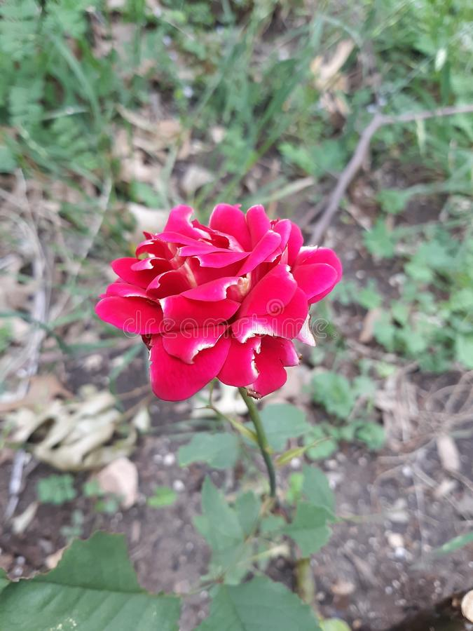 Flaw of rose. Flaw of. Red, focus, flower, nature, roses stock photos