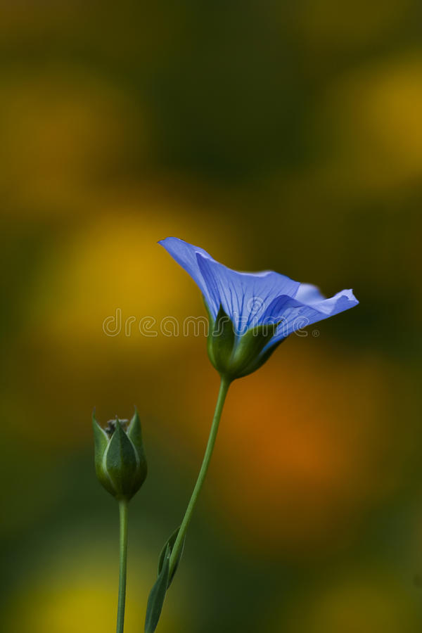 flax photographie stock