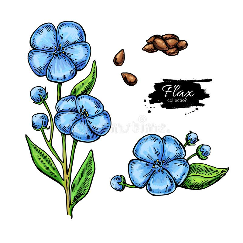 Flax flower and seed vector superfood drawing set. Isolated hand drawn illustration on white background. Organic healthy food. Great for banner, poster, label vector illustration
