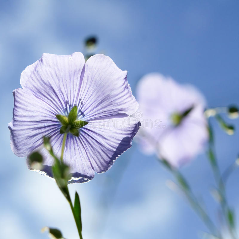 Flax flowers. On the blue royalty free stock image