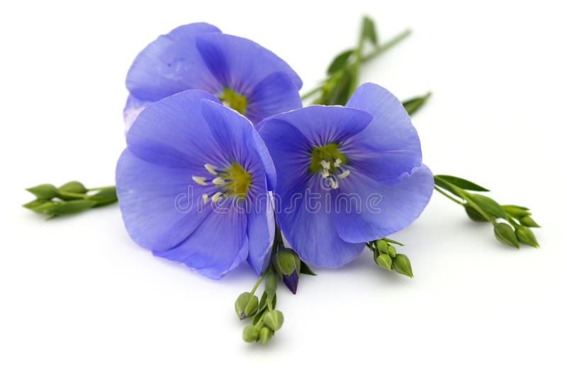 flax flowers 库存照片