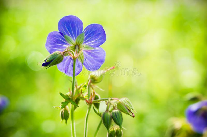 Flax flowers close up on the field royalty free stock photo