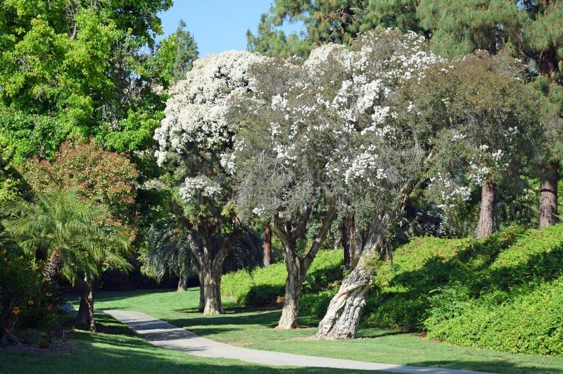 Flax Paperbark tree or Melaleuca linariifolia in Laguna Woods, California. Image shows a trio of Flax Paperbark trees, or Melaleuca linariifolia, lining a stock image
